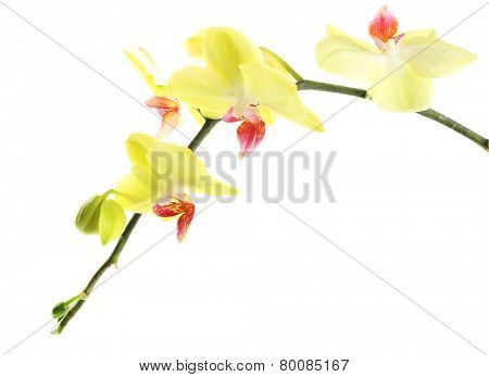 Orchid flowers isolated on white
