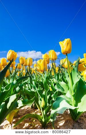 Close view of yellow tulips in sunshine during day