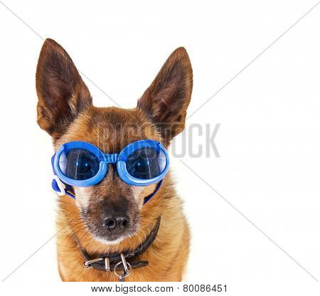 a small chihuahua mix with goggles on isolated on a white background