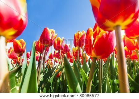 Macro view from below of many orange tulips
