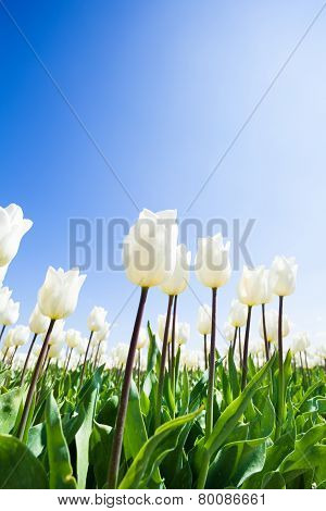 Close-up view of beautiful white tulips during day
