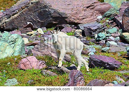 Mountain Goat Alpine Environment
