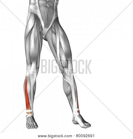 Concept or conceptual 3D extensor digitorum longus human lower leg anatomy or anatomical and muscle isolated on white background poster