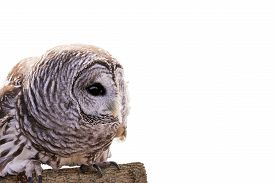 Barred Owl Isolated
