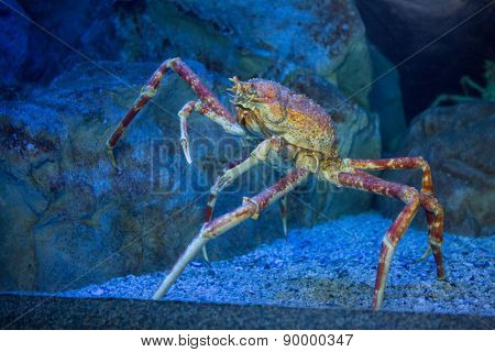 Big crab climbing a stone in tank at the aquarium