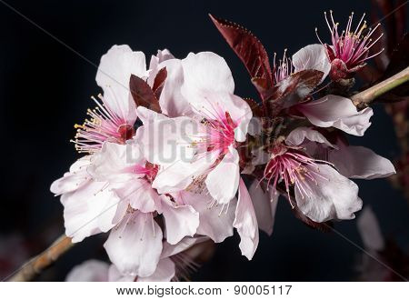 Beautiful Cherry Tree Blossom Close-up. Low-key Light
