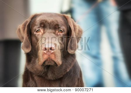 Chocolate Labrador Retriever on a blurred background
