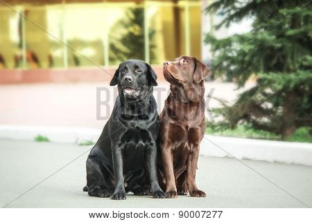 two labrador sitting on a blurred background