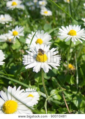 Fresh chamomile flowers and bee at work