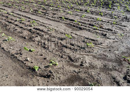 Recently Planted Celery Seedlings In Rows