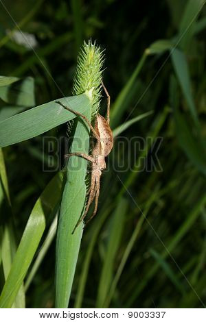 Nursery web spider (Pisaura mirabilis) - Female on a leaf poster
