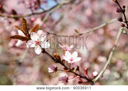 Blooming tree twig with pink flowers in spring close up