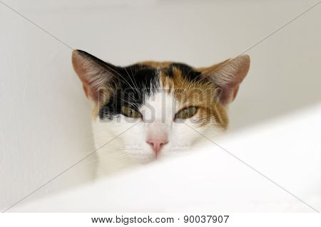 Calico Cat Looking With White Background