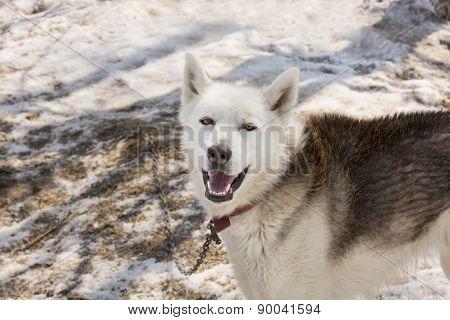 Huskies in nursery for dogs