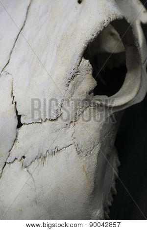 Cow Skull Close Up