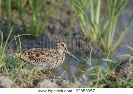 Bird (common Snipe) Find Victim On Ground