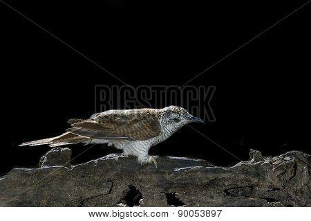 Bird (banded Bay Cuckoo) Perching On Beautiful Branch