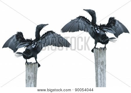 Fineart Photographer Bird Open Wing On Log (little Cormorant, Ja