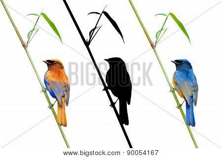 Fineart Bird Photography (rufous-bellied Niltava) Perching On Ba