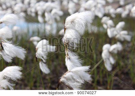Eriophorum angustifolium, Cyperacea is a plant on the Norwegian mountain.