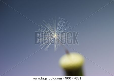 closeup last dandelion seed