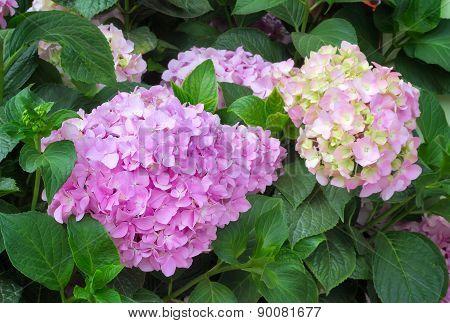 Flowering Branch Of Hydrangeas.