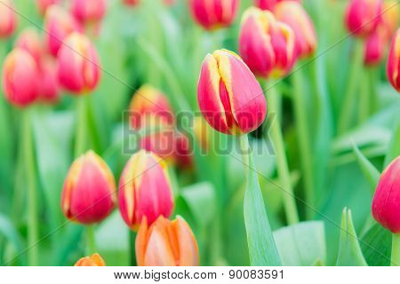 Beautiful Colorful Tulip Flower