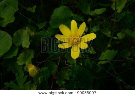 Lesser Celandine Bright Yellow Flower With Morning Dew On Petals Next To A Bud In The Bush Green Lea