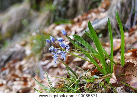 Scilla bifolia (alpine squill or two-leaf squill)