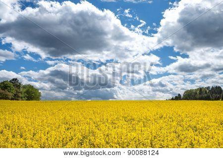 Blooming rape field with impressive cloudscape