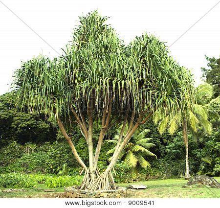 Hawaiian Hala Tree