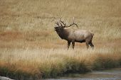 bull elk bellowing a mating call in yellowstone national park poster