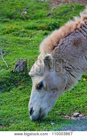 camel nibbling grass