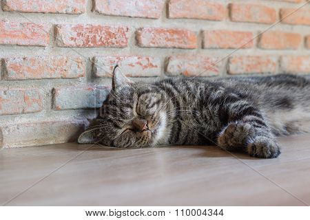 Cat American Short Hair Sleep,brick Wall Background