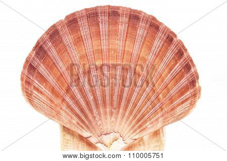 Single Seashell Of Mollusc Isolated On White Background
