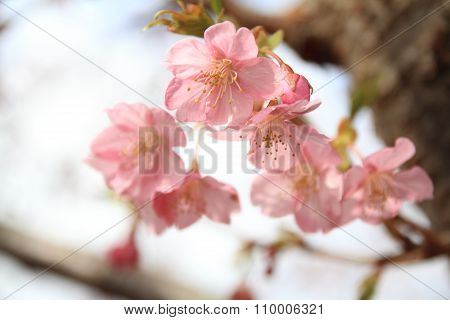 Cherry blossoms (Kawazu Cherry) in Izu Japan