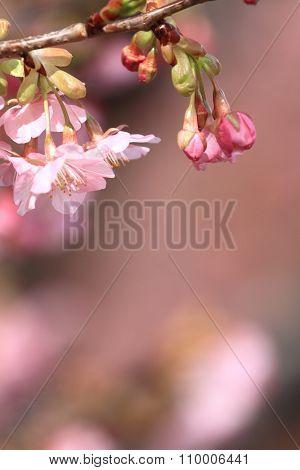 Cherry blossoms (Kawazu Cherry) in Izu Japan