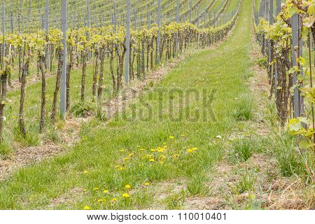 Close-up of growing vineyard and green grass