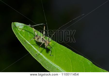 Detail of a young little grasshopper sitting on green leaf