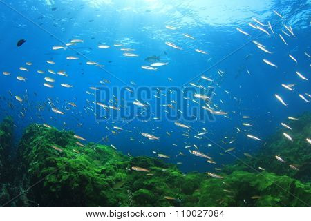 Fish and Seagrass underwater background