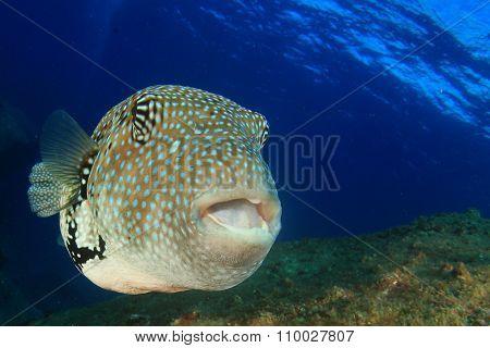 Whitespotted Puffer fish