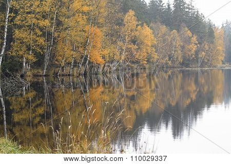 Autumn Birches On The Shore Of Lake