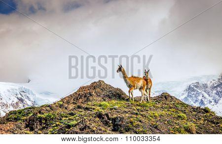 Guanaco on a hill