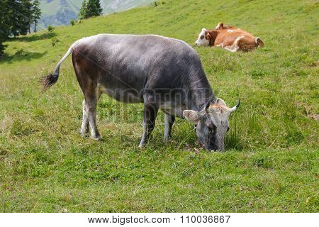 The Tiroler Grauvieh cow (Oberinntaler Grauvieh) Tyrol / Tyrolean Grey mountain cattle of Austria nibbling grass on a meadow pasture