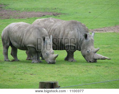 Two Grey Rhinos