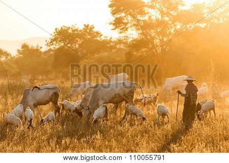 BAGAN, MYANMAR, JANUARY 24, 2015 : A shepherdess is walking in a dry field with cows and goats under the dusk sunlight in Bagan, Myanmar (Burma)