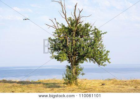 Ancient Oak Tree On Mountain Over Sea