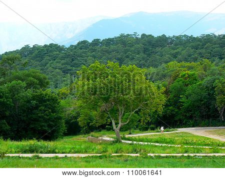 Ancient Oak Tree In Forest In Mountains