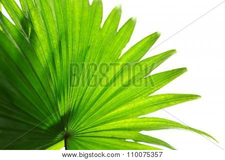 Palm  leaf (Livistona Rotundifolia palm), close up