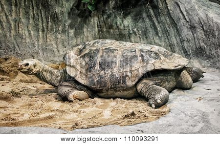 Aldabra Giant Tortoise (aldabrachelys Gigantea), Endangered Animal Species
